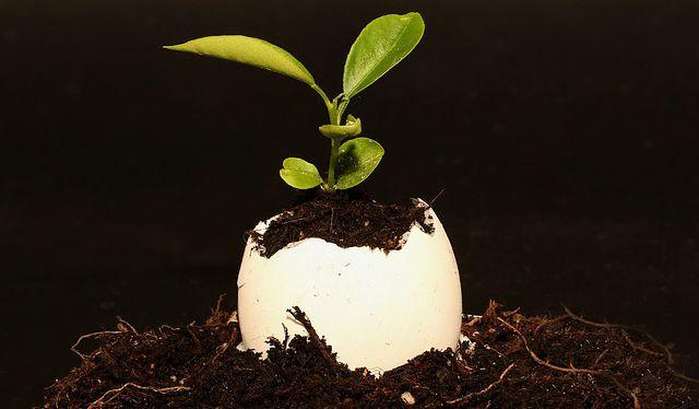 recicle las cáscaras de huevo para iniciar las plántulas o semilleros.