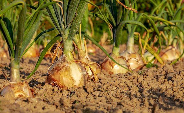 Huerto de cebollas organico
