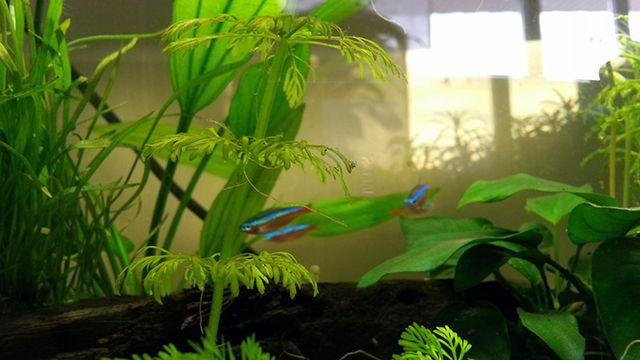 recicla el agua de tu acuario úsalo en tu huerto