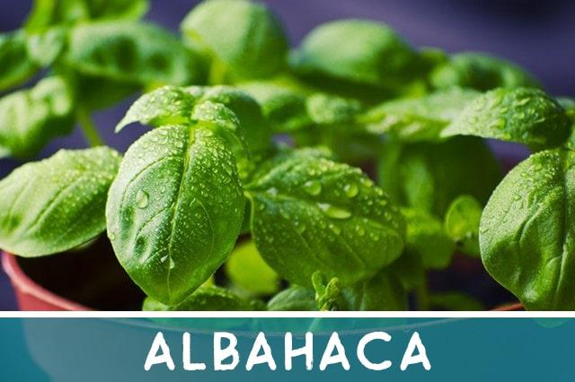 albahaca - hierbas medicinales