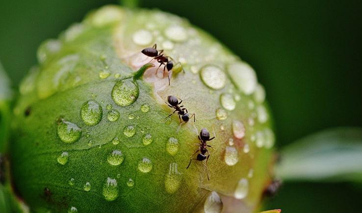 Ahuyenta las hormigas con aceite