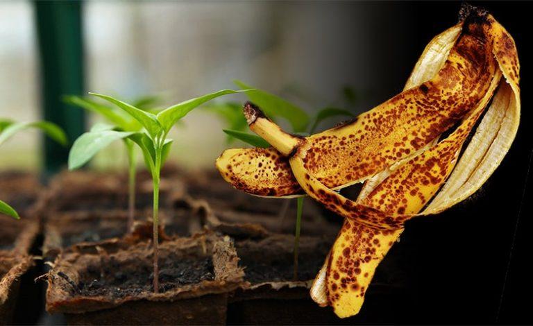 Cáscara de plátano para las plantas