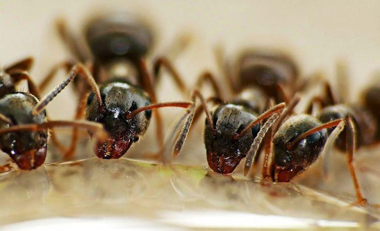 ¿Cómo eliminar las hormigas naturalmente?