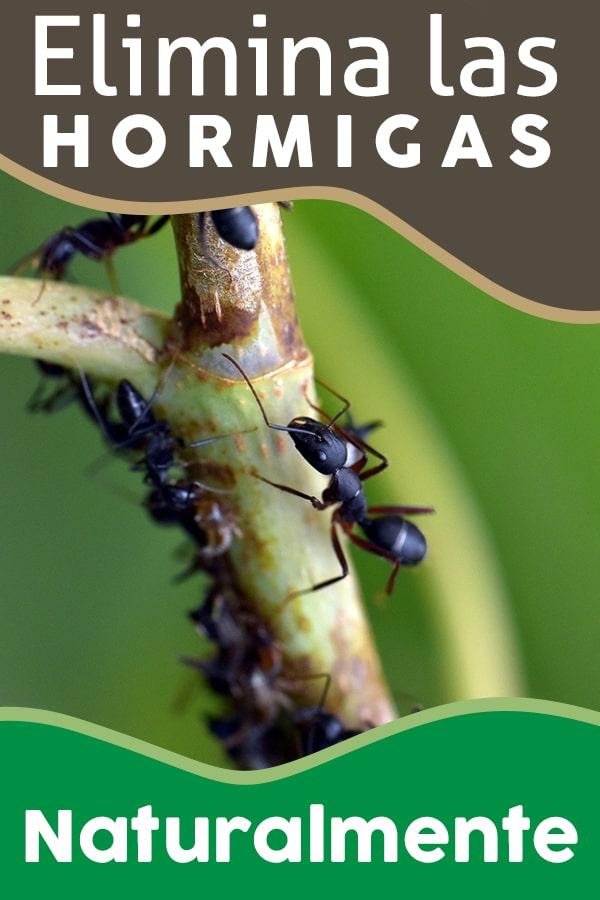 Eliminar las hormigas naturalmente