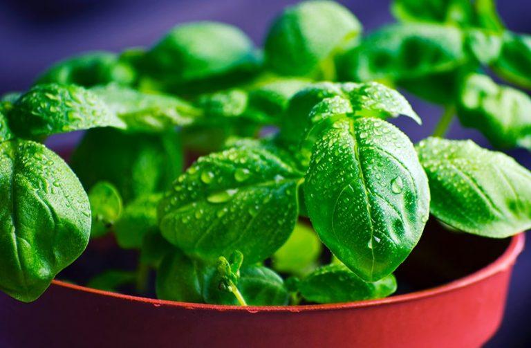 Cómo cultivar albahaca ecológica en casa