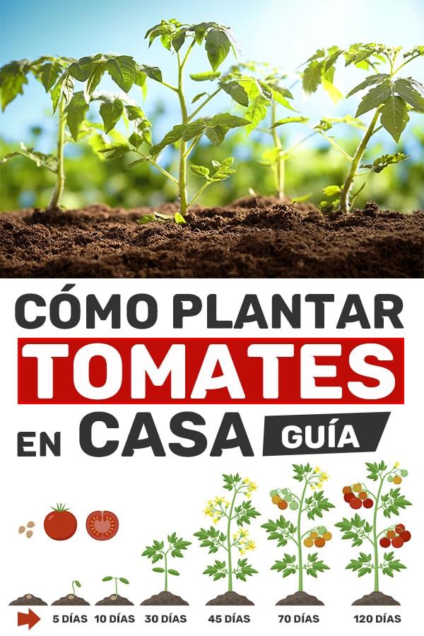 Como plantar tomates en casa guía y duración