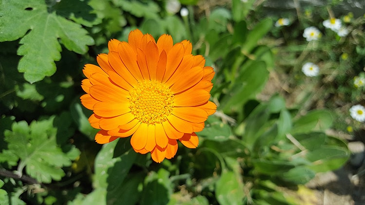 flor calendula en el jardín