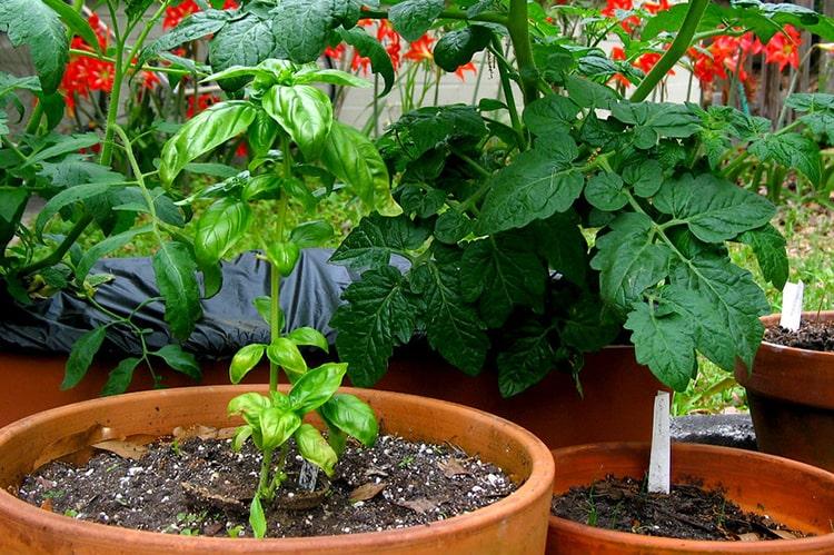 Tomates y albahaca juntos