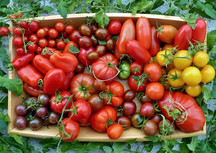 Variedad de tomates y sus tipos
