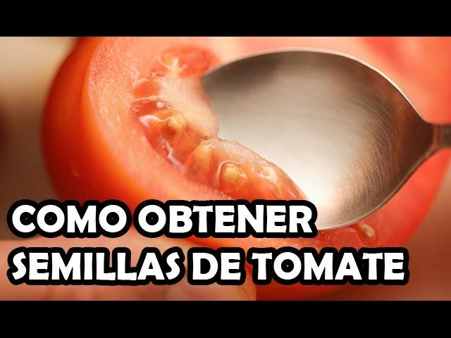 Germinar semillas de tomates