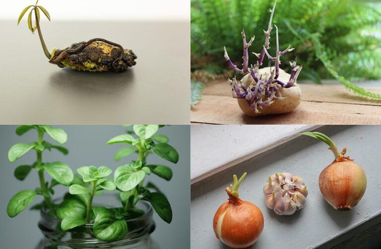 Cómo rebrotar verduras en casa a partir de restos.