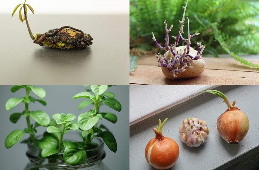 Rebrotar verduras en casa