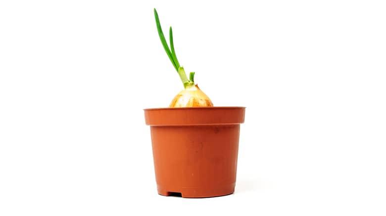 planta de cebolla
