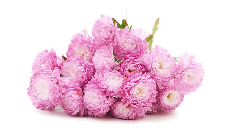 Flor de crisantemos